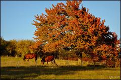 Robe d'automne (Excalibur67) Tags: autumn trees horse nature automne landscape nikon herbst paysage arbre chevaux d90 vosgesdunord