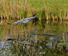 Blue heron takes off (ellenm1) Tags: blue color fall heron nature water birds landscape pond michigan wetlands bestoffall2011