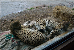Auckland Zoo - Leopards