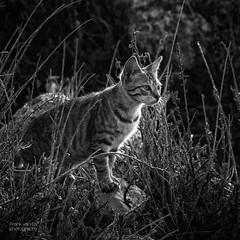 Rhodes cats 2 (Frank van Es http://www.frankvanes.eu) Tags: cat kat greece hunter rhodes jager rhodos griekenland frankvanes helookatmeilooklikeatiger