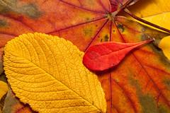 Autumn (jr2142) Tags: autumn macro leaves laub herbst bltter