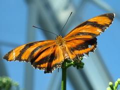 Motyl w części oceanicznej