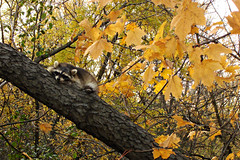 Sleepy Afternoon (Urban Woodswalker) Tags: autumn trees nature beauty leaves forest woodland illinois woods midwest raccoon cookcounty chicagoland thebestyellow urbanwoodswalker maenriquez