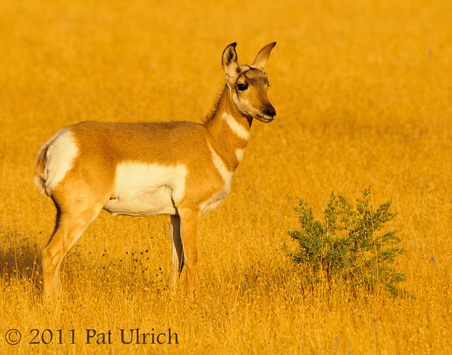 Young pronghorn at sunset