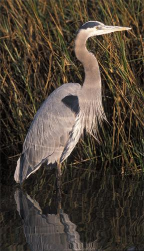 Great blue heron. Photo by Gary Kramer, USFWS