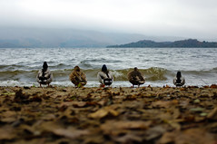 Come Hell Or High Water (ntrolls) Tags: lake animal scotland ducks wave lochlomond