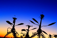 (SXN) Tags: city blue shadow sculpture orange man black statue rock contrast digital sunrise canon bug insect eos 350d rebel xt desert nevada alien playa burningman nv blackrockcity burning squid brc pierce sxn soracco piercesoracco 2013piercesoracco piercesoraccocom