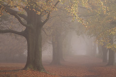 Winchester (paulwhiting) Tags: uk autumn trees mist leaves yellow fog golden branches hampshire ethereal mysterious trunks avenue winchester beech
