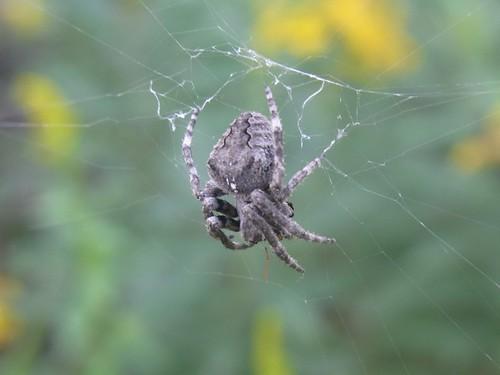 わりと大きいクモ sp.