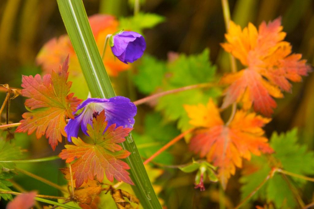 geranium rozanne  994