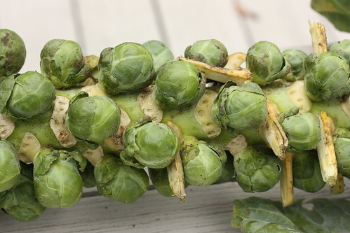 Brussels Sprouts on a stalk via MealMakeoverMoms.com/kitchen