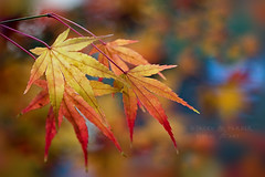 Vibrant Autumn (Jacky Parker Floral Art) Tags: autumn red fall nature colors leaves horizontal closeup garden landscape japanese golden maple colorful colours vibrant acer colourful orientation bold