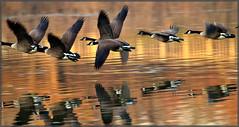 Geese Flyby (MurrayH77) Tags: bird nature geese wildlife pa nwr greatphotographers mygearandme musictomyeyeslevel1 jheinz