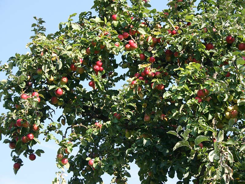 Kirschblütenhof - Apfelbaum