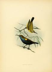 n391_w1150 (BioDivLibrary) Tags: pictorialworks sunbirds sil smithsonianinstitutionlibraries bhl:page=36894439 dc:identifier=httpbiodiversitylibraryorgpage36894439 taxonomy:genus=cinnyris author:name=georgeernestshelley author:viaf=71381293 artist:name=johngerrardkeulemans artist:viaf=42113661 ornithology birds