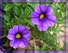 Callibrachoa (M.P.N.texan) Tags: flowers flower purple bloom pictureperfect blooming containergardening callibrachoa theenchantedcarousel