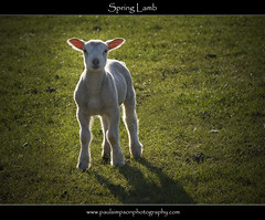 New Born (Paul Simpson Photography) Tags: baby wool nature sunshine spring sheep farm farming meat mature lamb lovely wooly creature naturalworld springtime woolly naturephotography naturesbeauty photosof picturesof rimlighting natureimages photoof imagesof march2012 paulsimpsonphotography