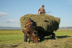 Gathering hay - Transylvania (Paul.White) Tags: life horse rural work canon photography countryside europe farming culture romania gathering hay agriculture pitchfork transylvania magyar carpathians collecting equine 30d drafthorses erdely szekely t20int