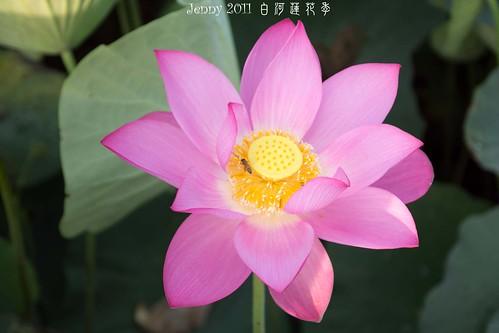 20110620白河蓮花季-5624