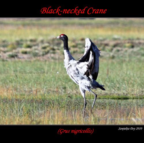Black-necked Crane (Grus nigricollis), Ladakh, Jammu & Kashmir, India - 06.09.10