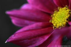 IMG_1929 (123Lars) Tags: flower macro canon foto tube lars kristian andersen extensions finnmark lakselv 60d