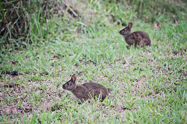 swamp hare