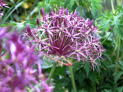Allium Christophii (Louise and Colin) Tags: green beautiful spectacular big purple large explore mauve onion lovely starry flowerhead explored geraniumleaves alliumchristophii selfseeder