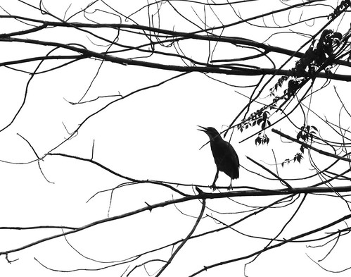 Green Heron in B&W by JKissnHug
