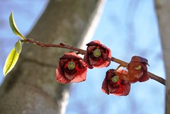 198e sunny day blossoms (jjjj56cp) Tags: trees red spring blossoms blooms pawpaw sharonwoods jennypansing