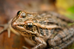 Toad! (MDanielsonPhoto) Tags: autumn macro fall kent eyes connecticut newengland ct toad macedoniabrookstatepark