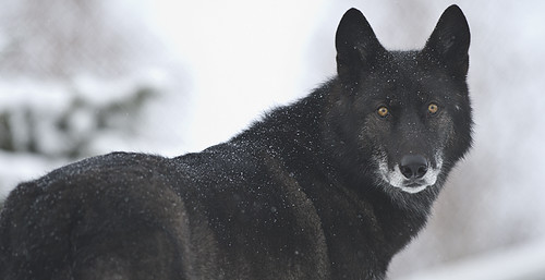 Black Wolf-29 by Dan Newcomb Photography