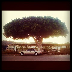 Might have found the near perfect tree for an upcoming project. Cypress Park. Los Angeles. (ryan schude) Tags: square squareformat hefe iphoneography instagramapp uploaded:by=instagram