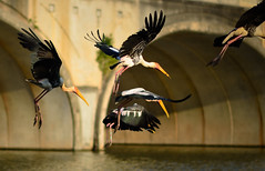 765 - Painted Stork (Mycteria leucocephala)