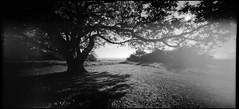 Cissbury Oak (Mike Oddhayward) Tags: bw sun tree grass sussex coast blackwhite holga high oak hill wide pinhole ring apx100 rodinal wpc cissbury 6x12 homedev homescan