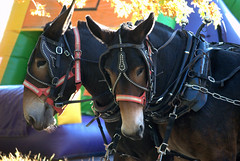 Ready for a Fall Hay Ride? (StGrundy) Tags: carnival autumn usa fall colors animals ga georgia season nikon colorful picnic seasons unitedstates south seasonal foliage southern hayride mules autumnal mule equine alpharetta d80 muleteam stgrundy