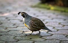 Quail (mjkjr) Tags: atlanta bird ga georgia october dof atl botanicalgardens quail telephotolens 135mm conservancy f20 135l 60d canon60d ef135mmf2lusm mjkjr httpwwwflickrcomphotosmjkjr