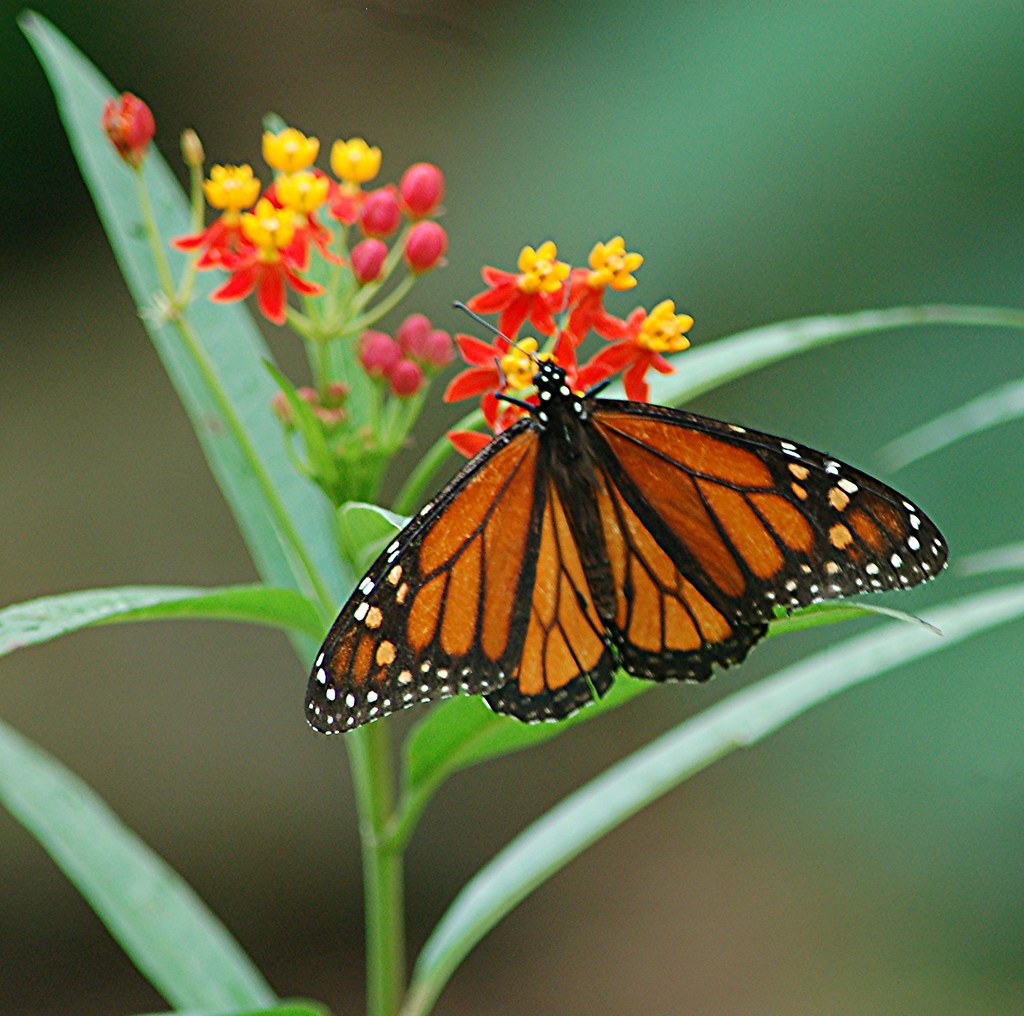 Full wing Monarch on red and gold Milkweed