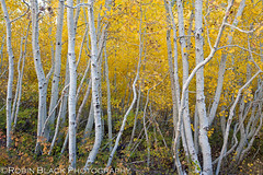 June Lake Aspens (Robin Black Photography) Tags: california autumn trees detail yellow landscape gold fallcolor grove loop ngc silverlake ethereal aspens sierras aspen canopy sierranevada intimate naturesbest highsierra nationalgeographic junelake otherworldly highway395 easternsierra whitebark highway159 rangeoflight outdoorphotographer canon5dmarkii thepowerofnow robinblackphotography