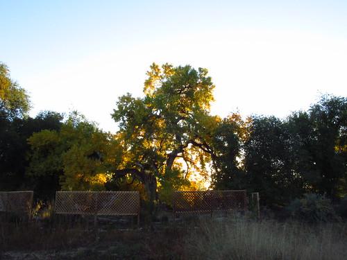 Sunrise through Grandmother Cottonwood