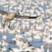 Snow Goose Landing in Réservoir Beaudet, Victoriaville