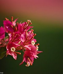 أجمل من أجمل ما تشوف .. أشوفك (b2dr) Tags: flowers flower beautiful nikon bougainvillea lovely macroنيكون،زهور،ورود،ماكرو،عزل