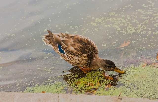 female mallard duck in fall feeding on algae