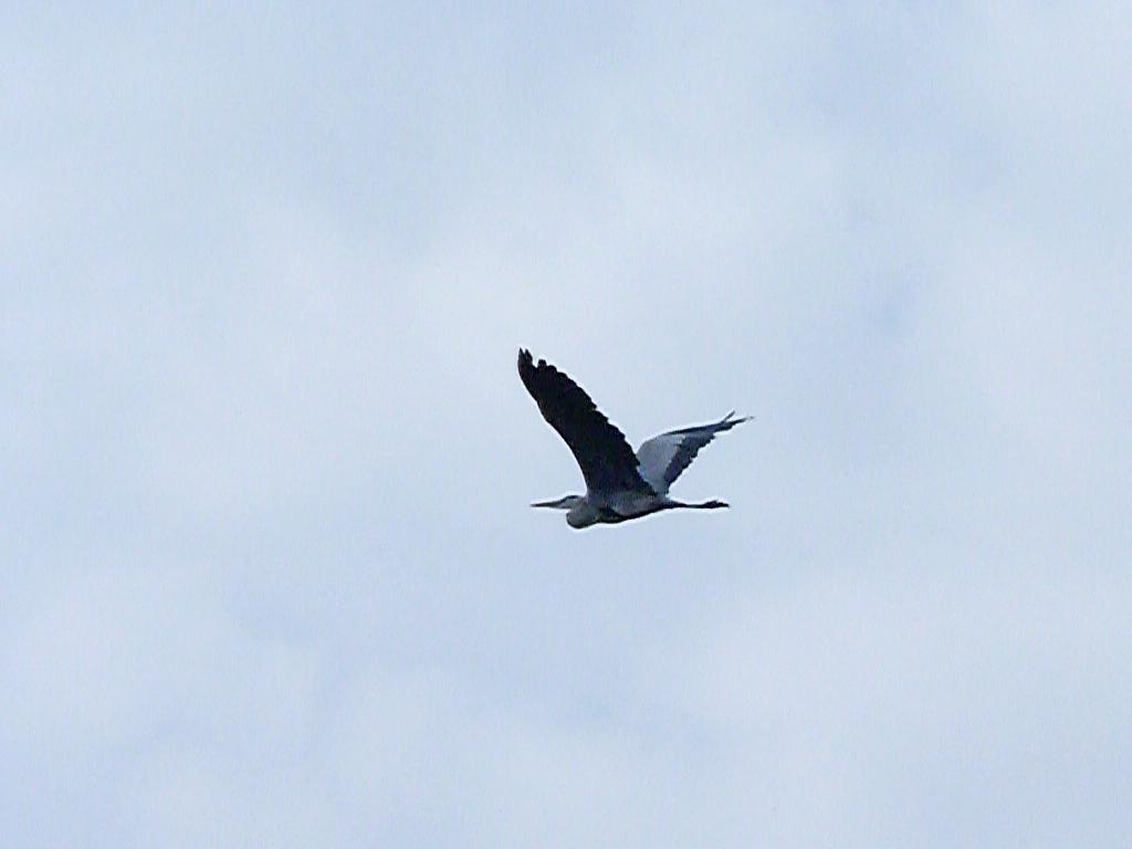 27-10-2011-grey-heron-flight4
