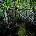 Mangroves-5