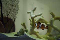 nadaremos, nadaremos... (NovElitO) Tags: pez coral mar agua nikon nemo natural peces payaso naranja nadando acuario pecera 2011 d3000 novelito