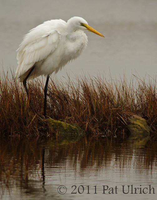 Great egret on a dreary day