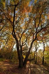Old Tree (merlune) Tags: autumn automne canon switzerland colours geneva mark tripod autumncolors ii oldtree 5d genve 1224mm oben hautesavoie sigma1224 salve jamesforsyth merlune at3400