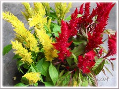Celosia argentea (Plumed Cockscomb), October 12 2011