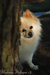 DSC_0742 (zoo2292) Tags: bear dog puppy doggy pomeranian pompom