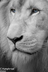 White Lion (--CWH--) Tags: blueeyes whitelion d90 chrishumphries